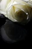 White to black. A White rose on a black background Stock Photography