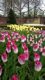 White to pink flaming tulips and yellow tulips Royalty Free Stock Photo