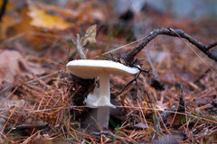 White toadstool in the forest Royalty Free Stock Photography