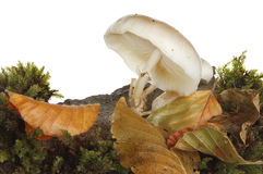 White toadstool fungi Royalty Free Stock Images