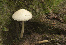 White toadstool Royalty Free Stock Photo