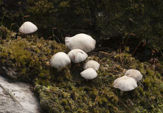 White toadstools Royalty Free Stock Photos