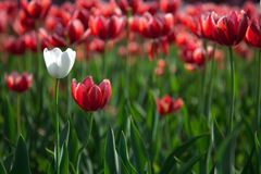 White tolip among red tulips Royalty Free Stock Photography