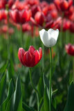 White tolip among red tulips Royalty Free Stock Photo