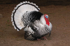 White tom turkey in full display Royalty Free Stock Photos