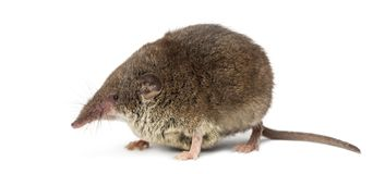 White-toothed shrew,. On white Royalty Free Stock Image