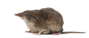 White-toothed shrew,. On white Stock Images