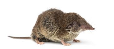 White-toothed shrew,. On white Stock Image