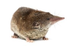 White-toothed shrew,. On white Royalty Free Stock Photography