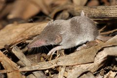 White Toothed Shrew - Crocidura sp. Stock Image