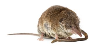 White-toothed shrew eating an earthworm,. On white Royalty Free Stock Image