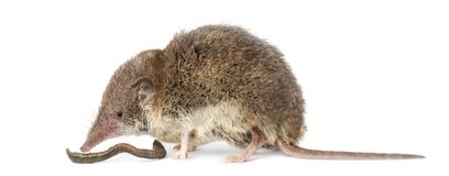 White-toothed shrew eating an earthworm,. On white Royalty Free Stock Photos