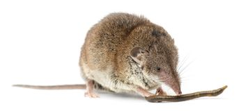 White-toothed shrew eating an earthworm,. On white Royalty Free Stock Photography