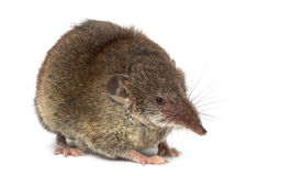 White-toothed shrew, isolated. On white Royalty Free Stock Image