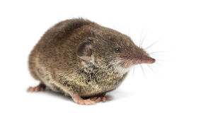 White-toothed shrew, isolated. On white Stock Images