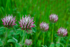 White-topped clover, Trifolium variegatum. Closeup on white-topped clover, Trifolium variegatum, a wildflower, in nature in California, against green background Stock Photos