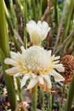 White torch ginger flower ( Etlingera elatior). Royalty Free Stock Photos