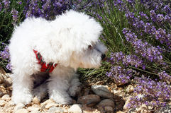 White toy dog smells lavender flowers. A white Bichon Frisè dog odouring some lavender royalty free stock image
