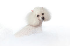 White Toy Poodle Stock Image