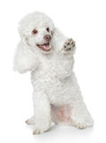 White Toy Poodle Gives That A Paw Royalty Free Stock Photo