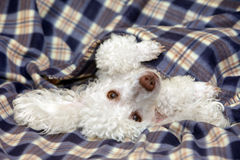 White Toy poodle relaxing Royalty Free Stock Photos