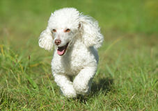 White toy poodle running Royalty Free Stock Image
