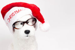 White toy poodle stock photography