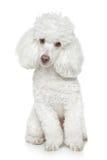 White Toy poodle on white background Stock Photos
