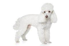 White Toy poodle on white background Royalty Free Stock Photos