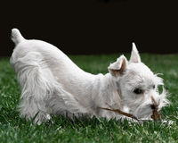 White Toy Schnauzer Royalty Free Stock Photography