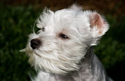 White Toy Schnauzer Face Royalty Free Stock Image