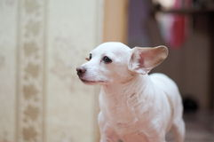 White toy terrier Royalty Free Stock Photos