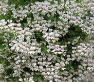 White Trailing Geranium Flowers. Stock Photography