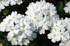 White Trailing Verbena Flowers. A closeup of two flower clusters of pure white Verbena x hybrida against a dark background Stock Photo