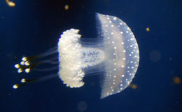 White Almost Transparent Spotted Jellyfish Royalty Free Stock Photo