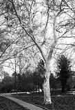 White tree Stock Photography