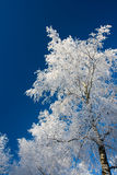 White tree. Frozen white tree and a deep blue sky Stock Image