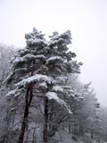 White tree. Pine covered in snow in Romanian mountins Stock Image