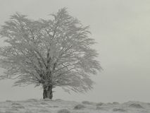 White tree. At the top of a hill in winter time stock photography