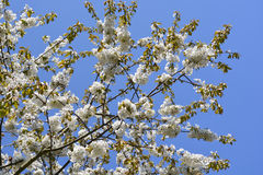 White tree blossom against blue sky Royalty Free Stock Photos