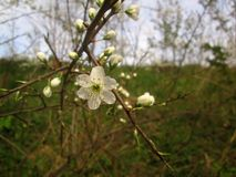 White tree blossom. White blossom and young buds on a tree in spring Royalty Free Stock Photos