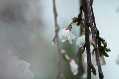 White Tree Blossoms With Dew in Closeup Photo Royalty Free Stock Photography