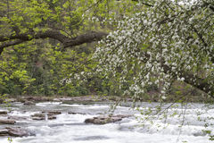 White Tree Blossoms Overhanging River Stock Photos
