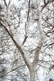 White tree branches  -RAW format  Stock Image