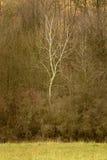 The white tree with bush Royalty Free Stock Photo