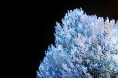 White tree covered in snow and with Christmas decoratin lights. In night Stock Image