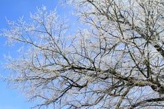White tree Royalty Free Stock Image
