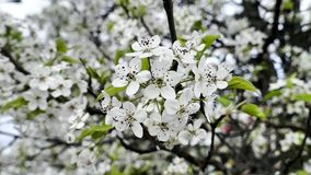 White tree flowers blooming on spring time stock video