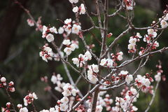 White Tree flowers in Colorado. Stock Images