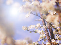 White tree flowers in spring Royalty Free Stock Image